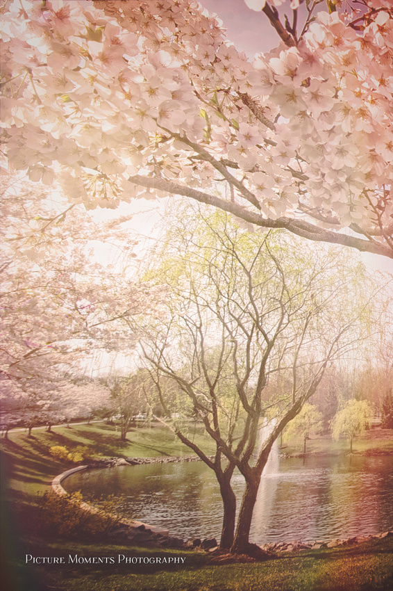 Cherry Blossoms Collection | Marisela Rivera Photographer | Picture Moments Photography